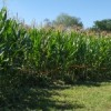 Children of the Corn Maze